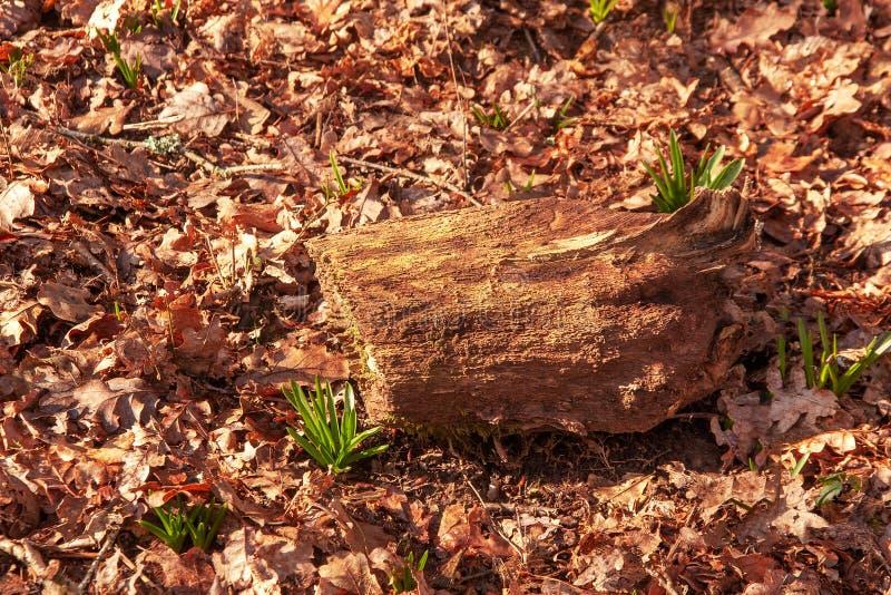 Campanule persistenti che crescono tramite le foglie di inverno fotografie stock libere da diritti