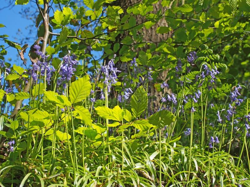 campanule selvagge vibranti e nuova crescita della molla alla luce solare luminosa in un fondo soleggiato della foresta contro un immagine stock libera da diritti