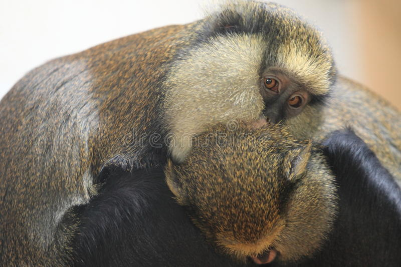 Campbell guenon. With her offspring royalty free stock photography