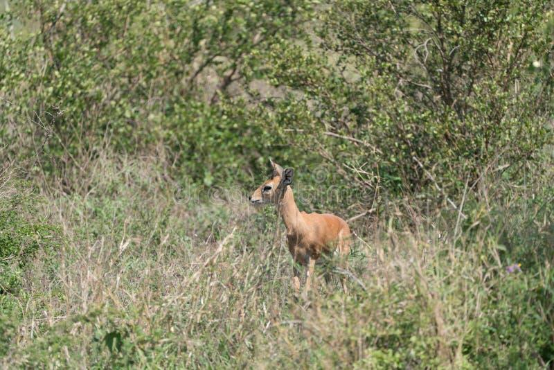 Campestris Raphicerus Steenbok стоковое фото rf