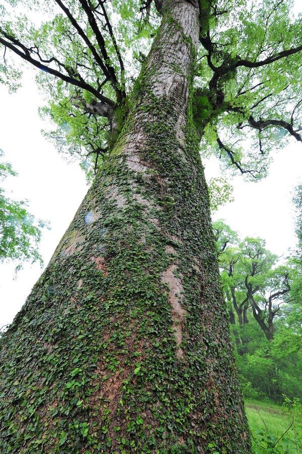 Camphora antigo da árvore-canela da cânfora foto de stock royalty free