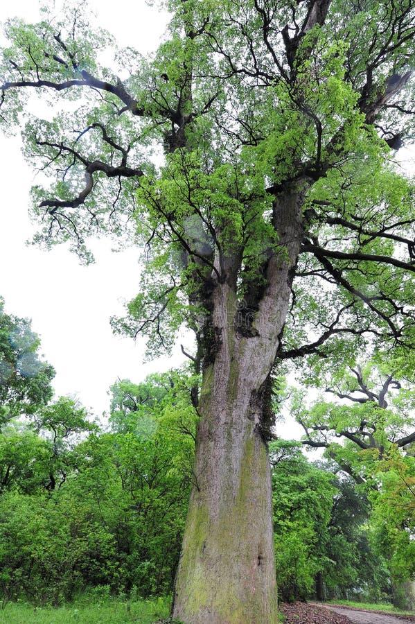 Camphora antigo da árvore-canela da cânfora fotos de stock royalty free