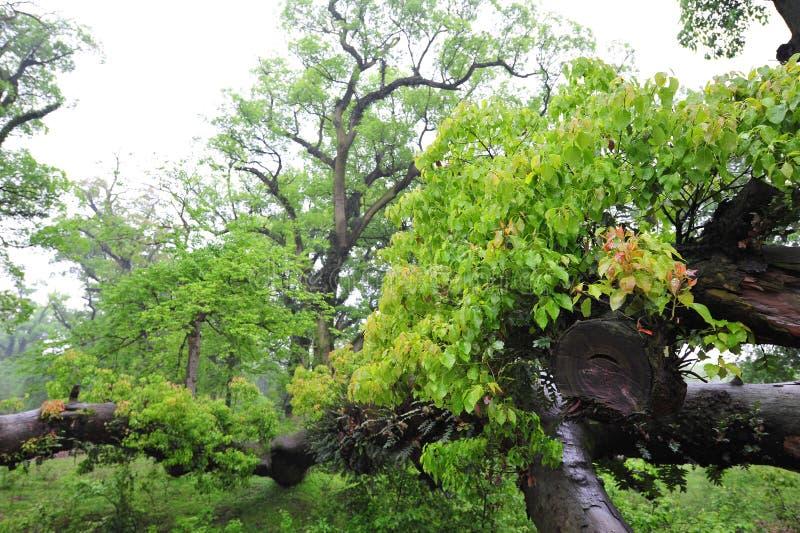 Camphora antigo da árvore-canela da cânfora foto de stock
