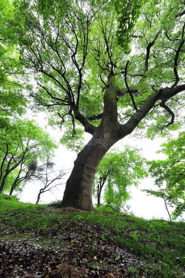 Camphora antigo da árvore-canela da cânfora imagem de stock royalty free
