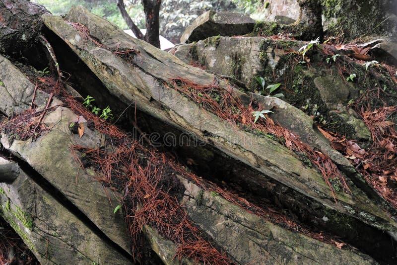 Camphora decadente da árvore-canela da cânfora imagens de stock