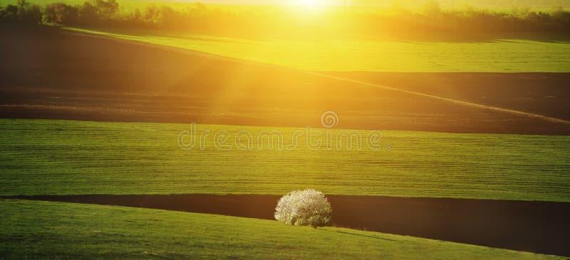 Campi collinosi di verde della primavera ed albero di fioritura alla luce solare Paesaggio della sorgente fotografie stock