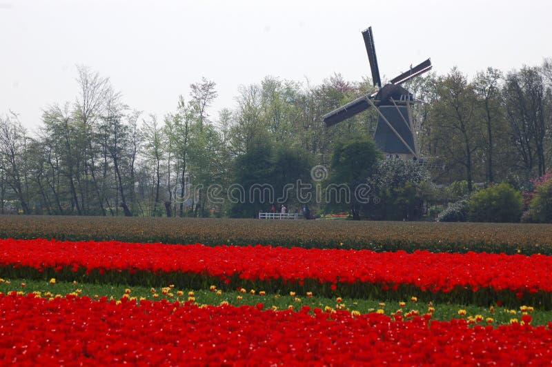 Campi con i tulipani ed il mulino a vento in Keukenhof, Olanda fotografie stock libere da diritti