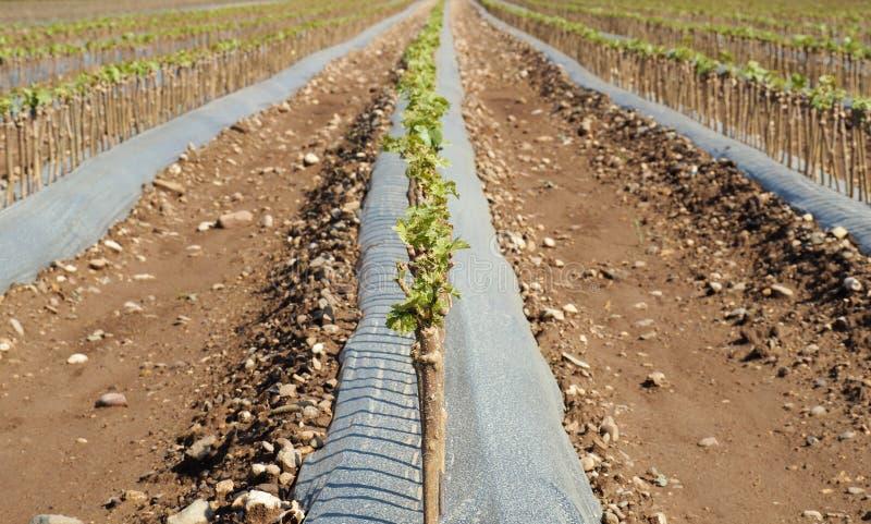 Campi degli innesti piantati vite nella primavera in autunno saranno pronti ad essere selled fotografie stock libere da diritti
