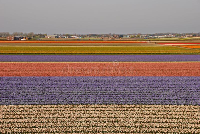 Campi dei tulipani oltre una città con le casette fotografie stock libere da diritti