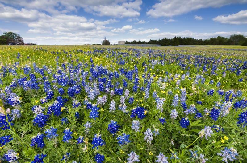 Campi del Bluebonnet in Palmer, TX immagini stock libere da diritti