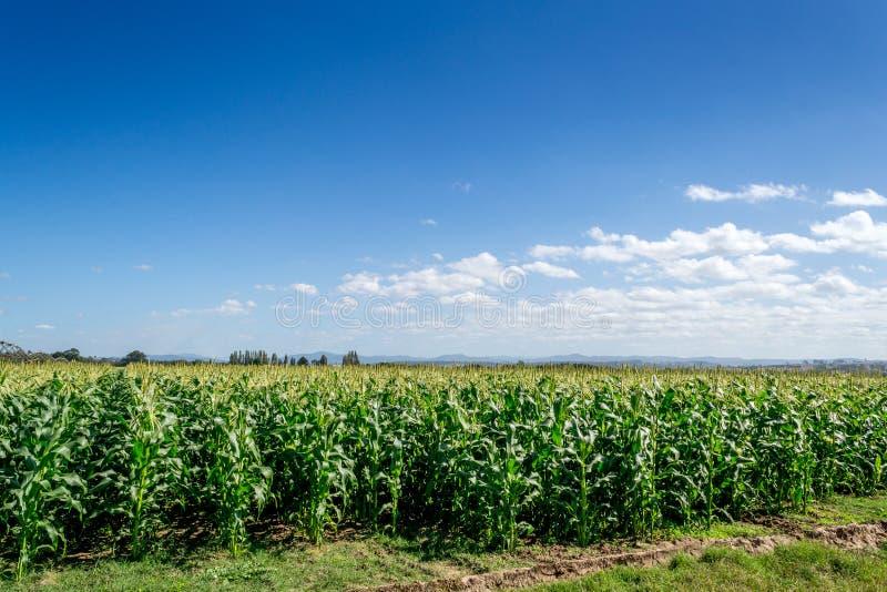 Campi del raccolto, chiaro cielo blu fotografia stock libera da diritti