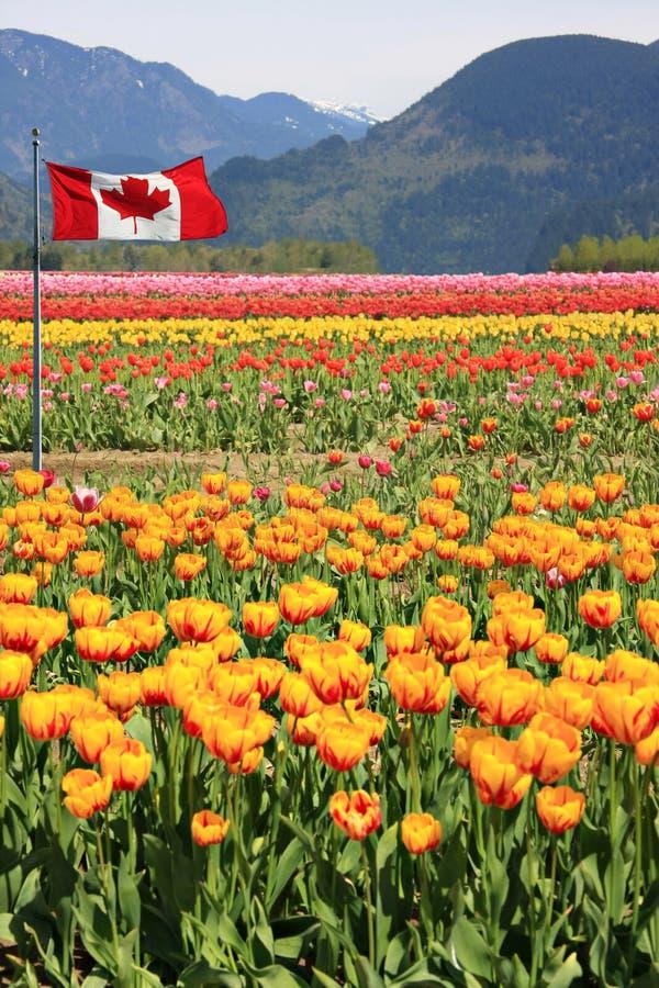 Campi del tulipano del Canada fotografia stock
