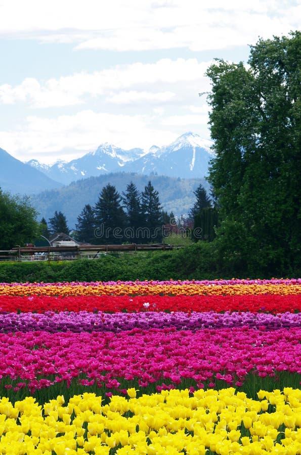 Campi del tulipano di estate immagini stock libere da diritti