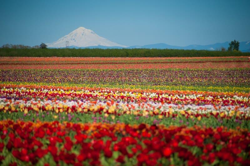 Campi del tulipano, montagna innevata immagini stock