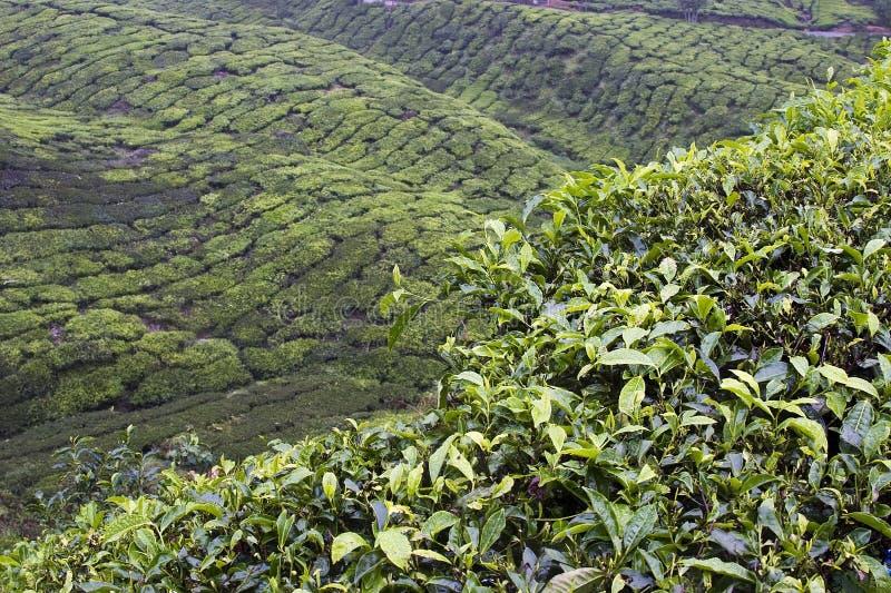 Campi della piantagione di tè degli altopiani di Cameron fotografia stock libera da diritti