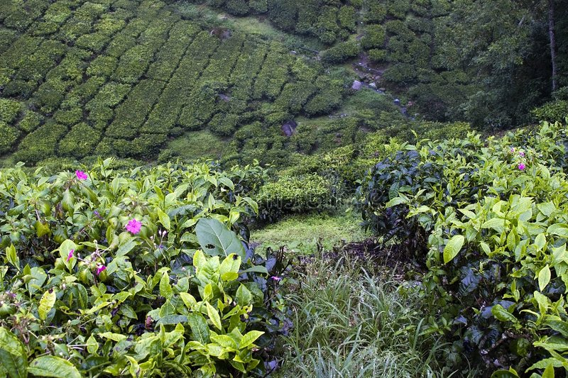 Campi della piantagione di tè degli altopiani di Cameron immagini stock libere da diritti