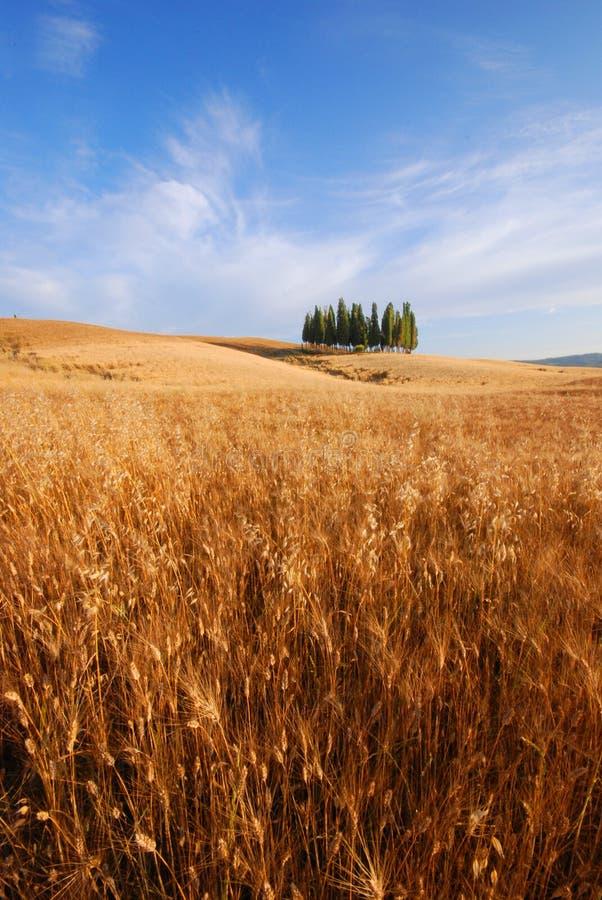 Campi di frumento in Toscana immagini stock