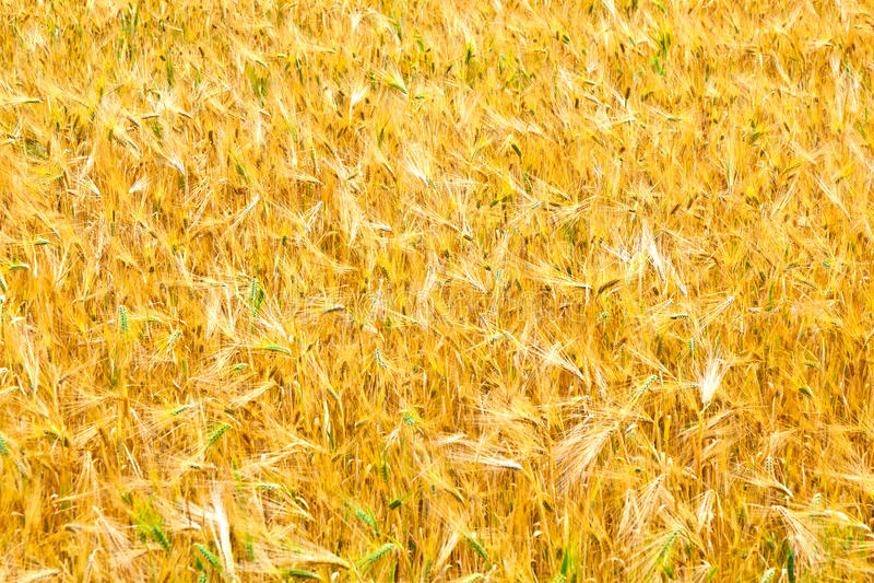 Campi di grano alla conclusione di estate immagine stock libera da diritti