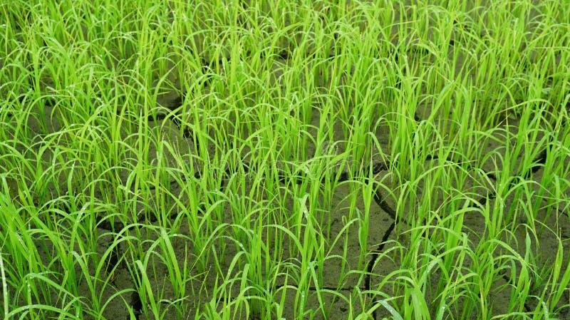 Campi di risaia asciutti fotografia stock