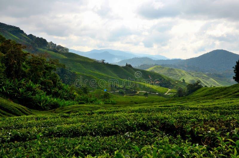 Campi fertili di verde di rotolamento di tè sulle colline nella località di soggiorno tropicale Cameron Highlands Malaysia immagini stock libere da diritti