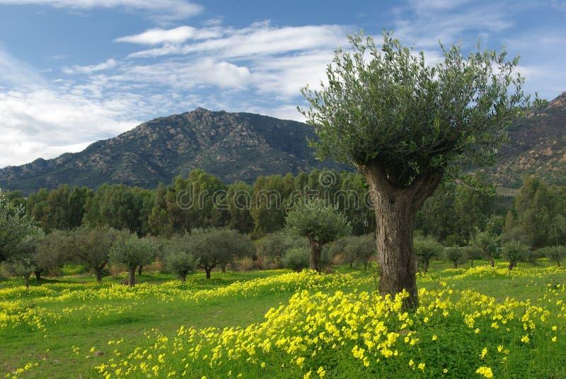 Campi fioriti dell 39 olivo e montagne immagine stock for Acquisto piante olivo