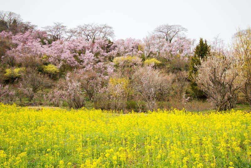 Campi gialli di nanohana ed alberi di fioritura che coprono il pendio di collina, parco di Hanamiyama, Fukushima, Tohoku, Giappon fotografie stock