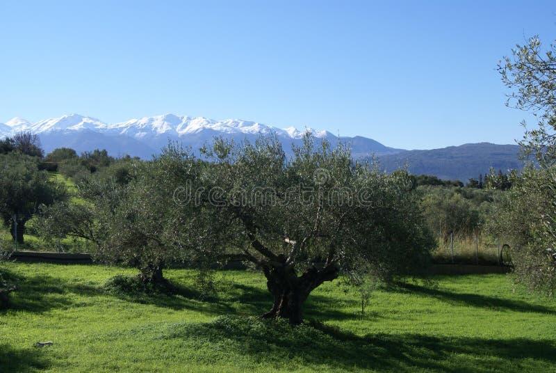 Campi verde oliva Montagna della neve in stilo, Kalyves, isola di Creta, Grecia fotografia stock libera da diritti