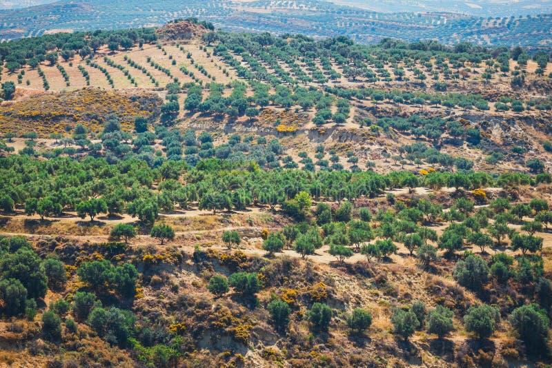 Campi verde oliva sull'isola di Creta in Grecia fotografie stock