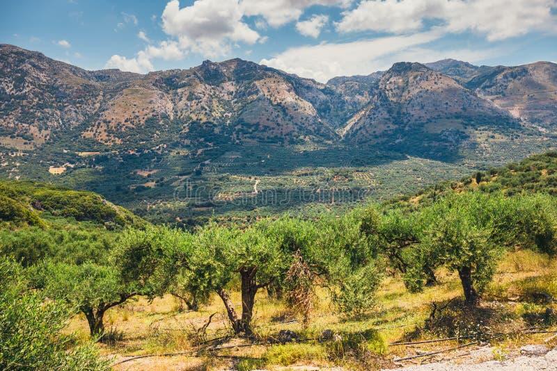 Campi verde oliva sull'isola di Creta in Grecia fotografie stock libere da diritti