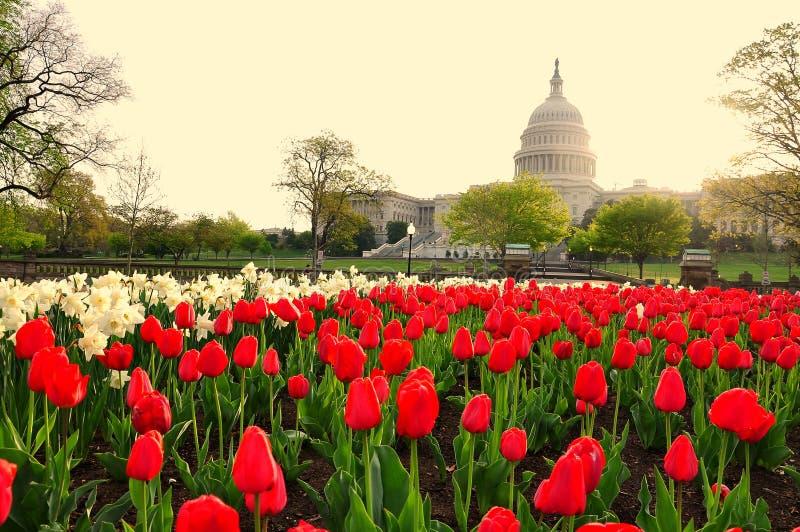 Campidoglio nell'alba, Washington DC, U.S.A. degli Stati Uniti immagini stock libere da diritti