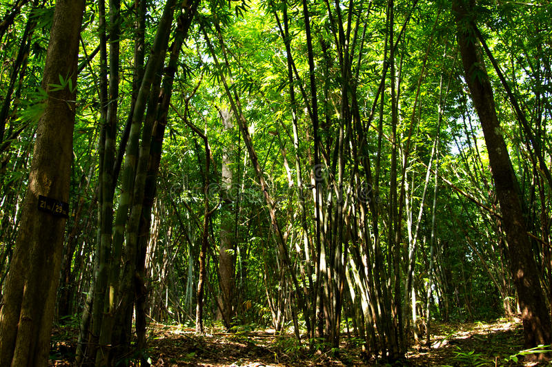 Camping in bamboo forest. Camping in bamboo forest at Maewong national park, Thailand royalty free stock photos