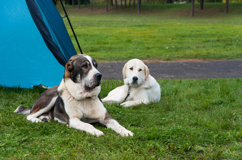 Camping with dogs. Two Central Asian Shepherd dogs lying on the grass by the tent royalty free stock photo