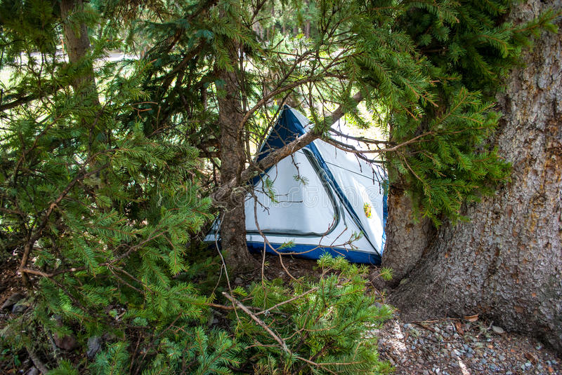 Camping Tent hidden with Pine Tree Branches stock photo