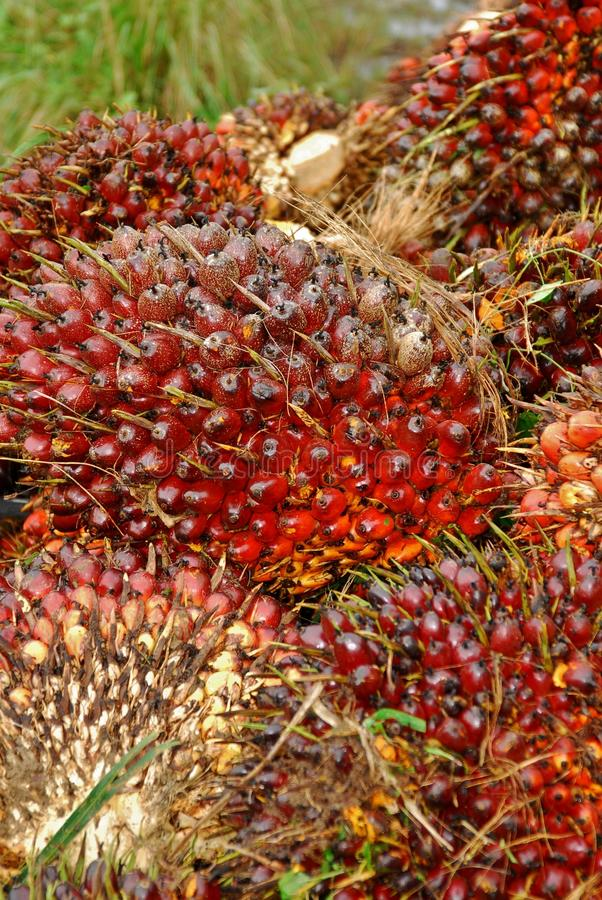 Campione maturo della frutta della palma da olio immagine stock
