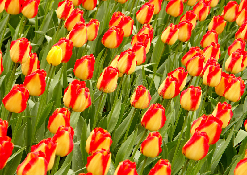 Campo #1 del tulipano immagine stock libera da diritti