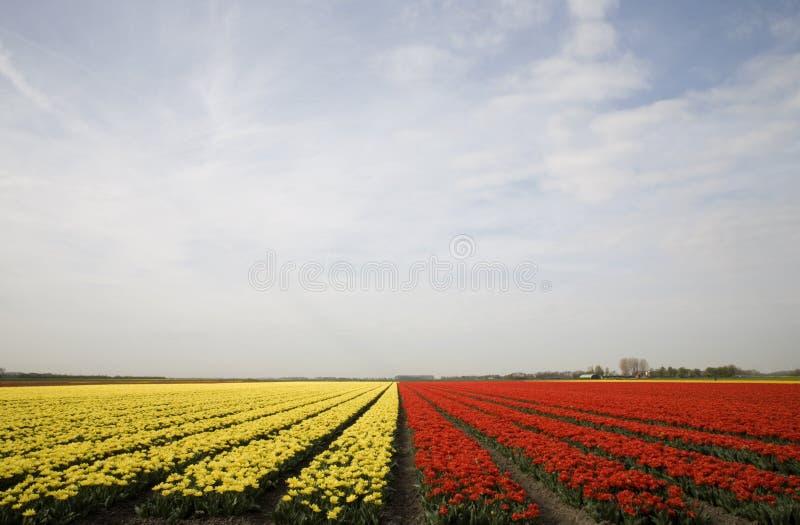 Campo 10 del tulipán imagen de archivo