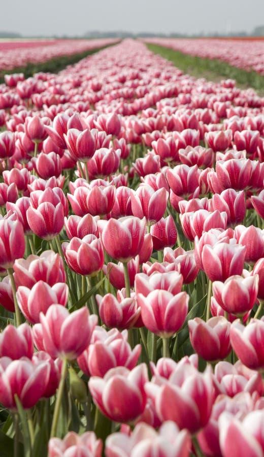 Campo 12 del tulipán imágenes de archivo libres de regalías