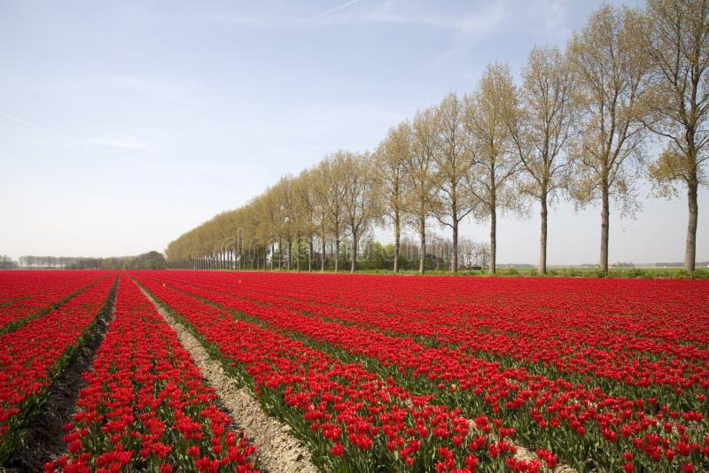 Campo 18 del tulipán foto de archivo