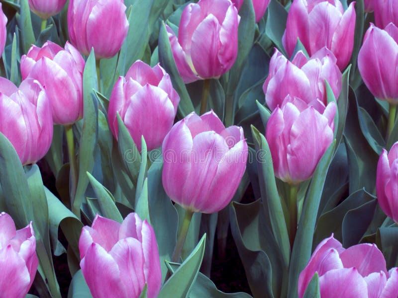 Campo 2 del tulipán fotografía de archivo