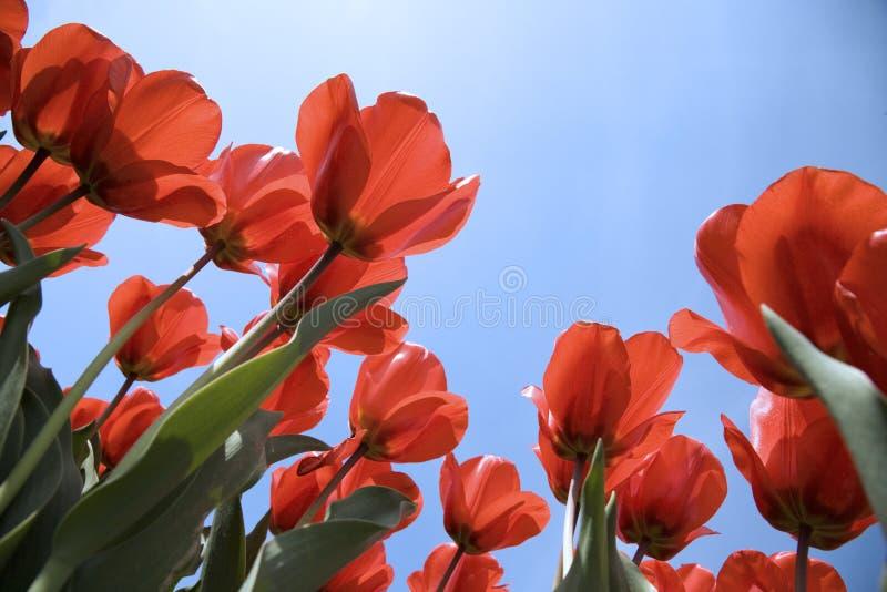 Campo 26 del tulipán fotos de archivo libres de regalías