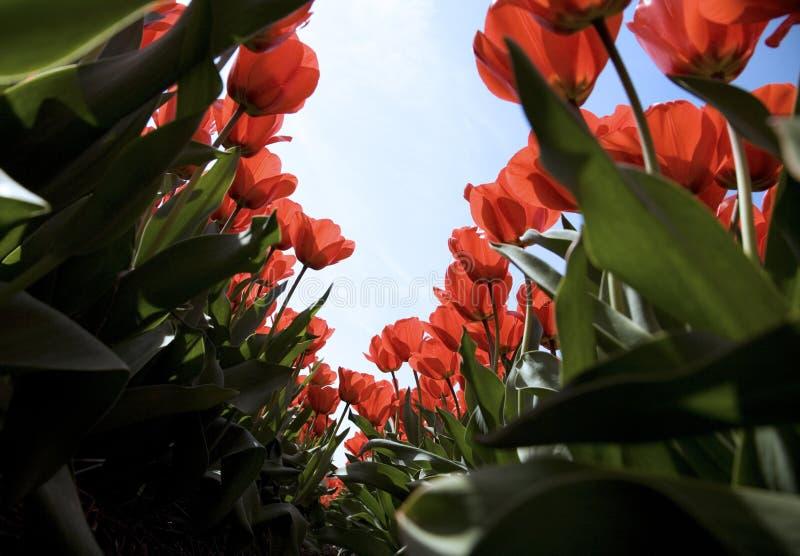 Campo 27 del tulipán fotos de archivo
