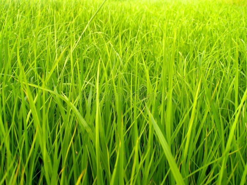 Campo 3 do arroz fotos de stock royalty free