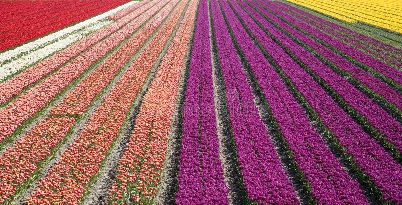 Campo 33 do Tulip foto de stock