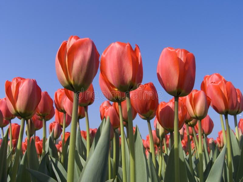 Campo 5 del tulipán fotografía de archivo libre de regalías
