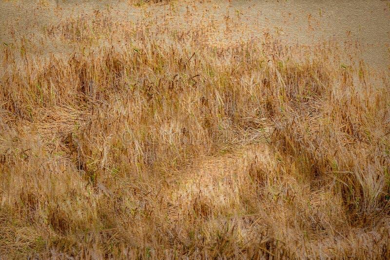 Campo abstracto de la cebada imagenes de archivo