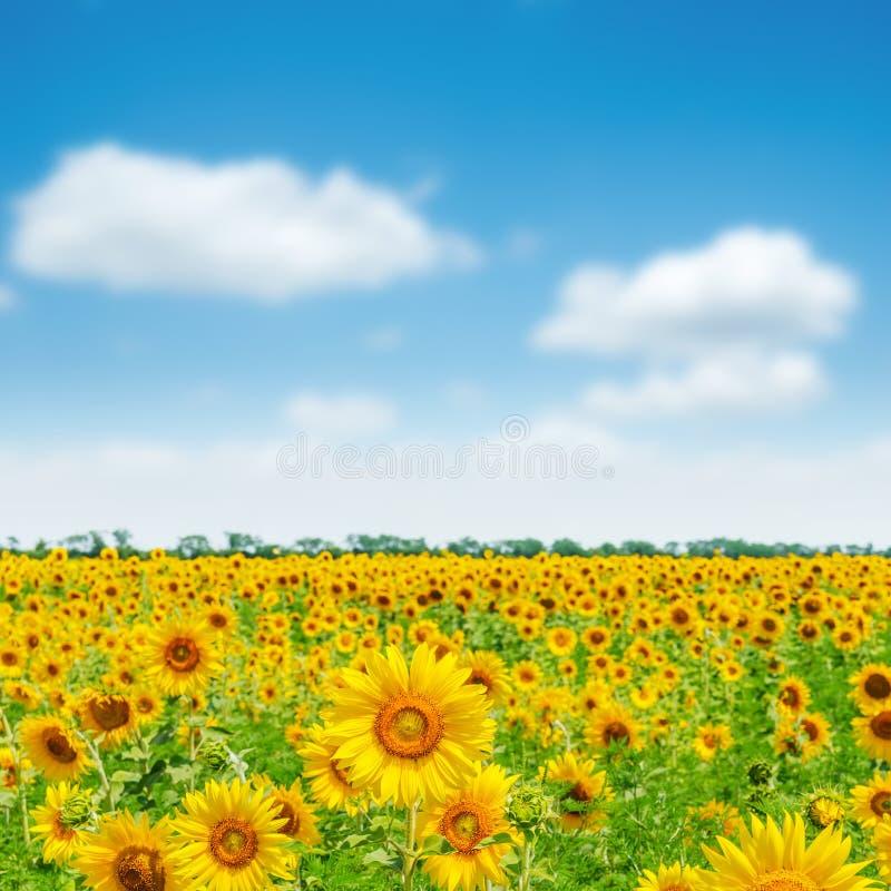 Campo agrícola com girassóis e o céu azul com nuvens imagem de stock