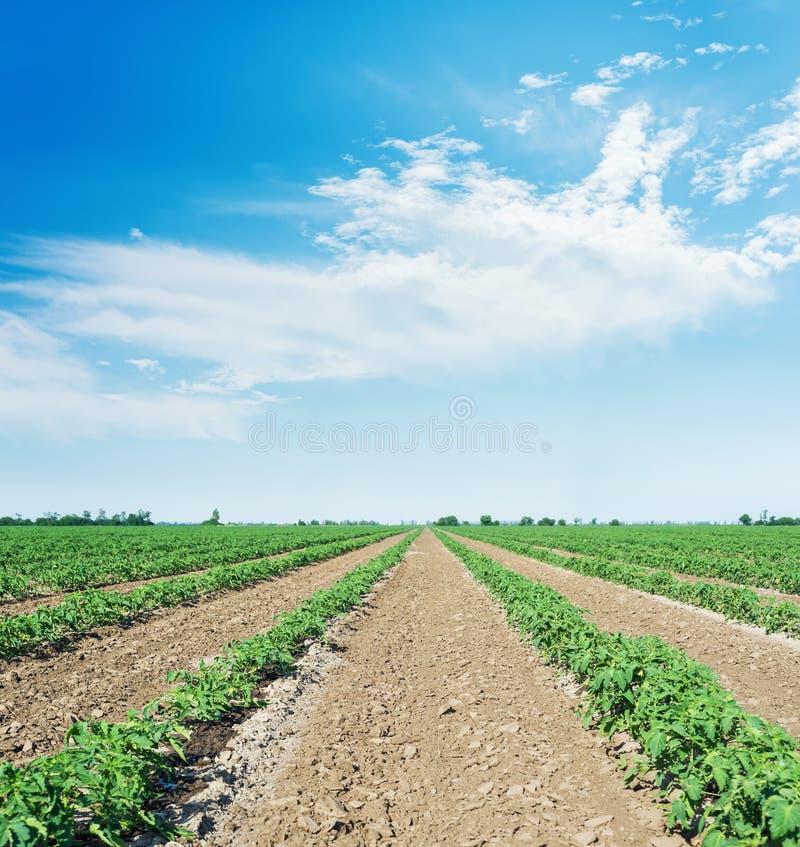 Campo agrícola com tomate verde e céu azul com nuvens foto de stock royalty free