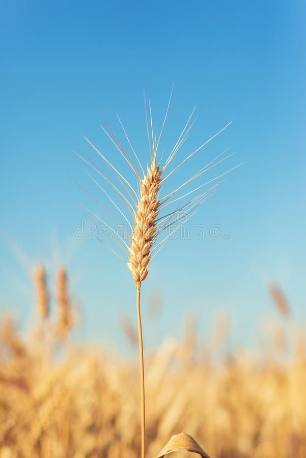 Campo agrícola de cor dourada e céu azul imagens de stock royalty free