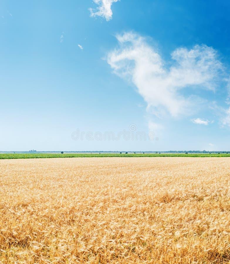 Campo agrícola dourado e céu azul com nuvens foto de stock royalty free