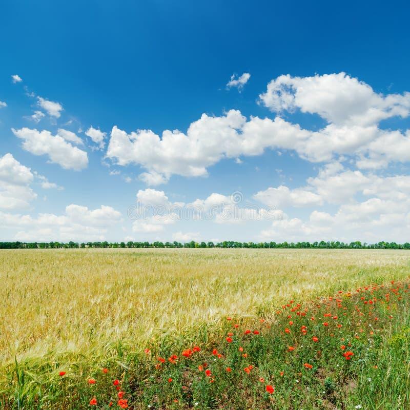 Campo agrícola verde com as papoilas vermelhas sob o céu azul imagem de stock